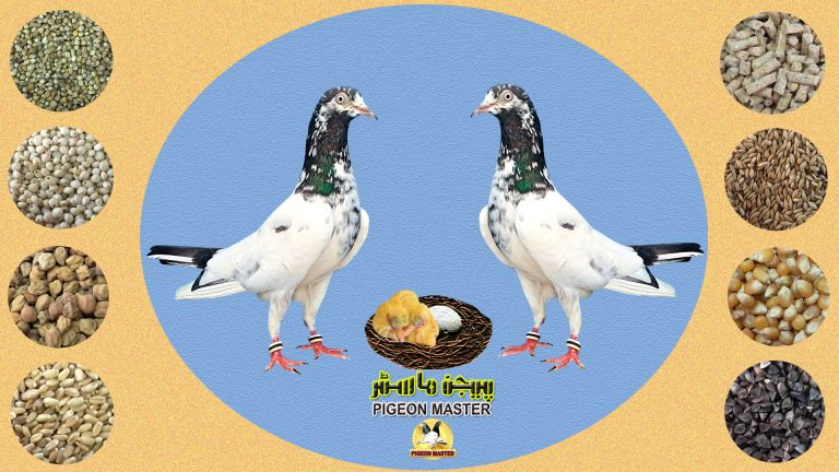 Pigeon Feed for High Flyer, Low Flyer, English Tipplers Pigeons