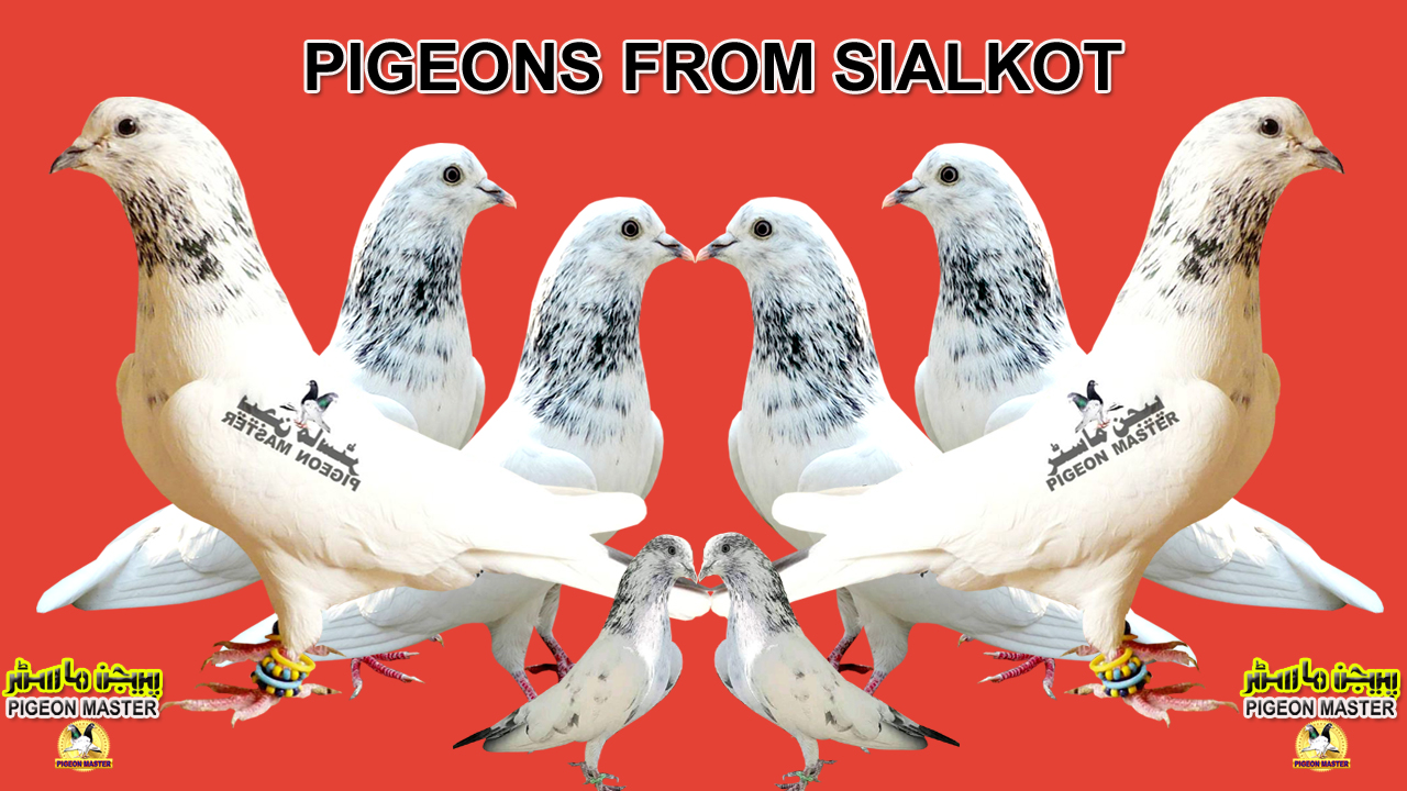 Pigeon History In Sub-Continent