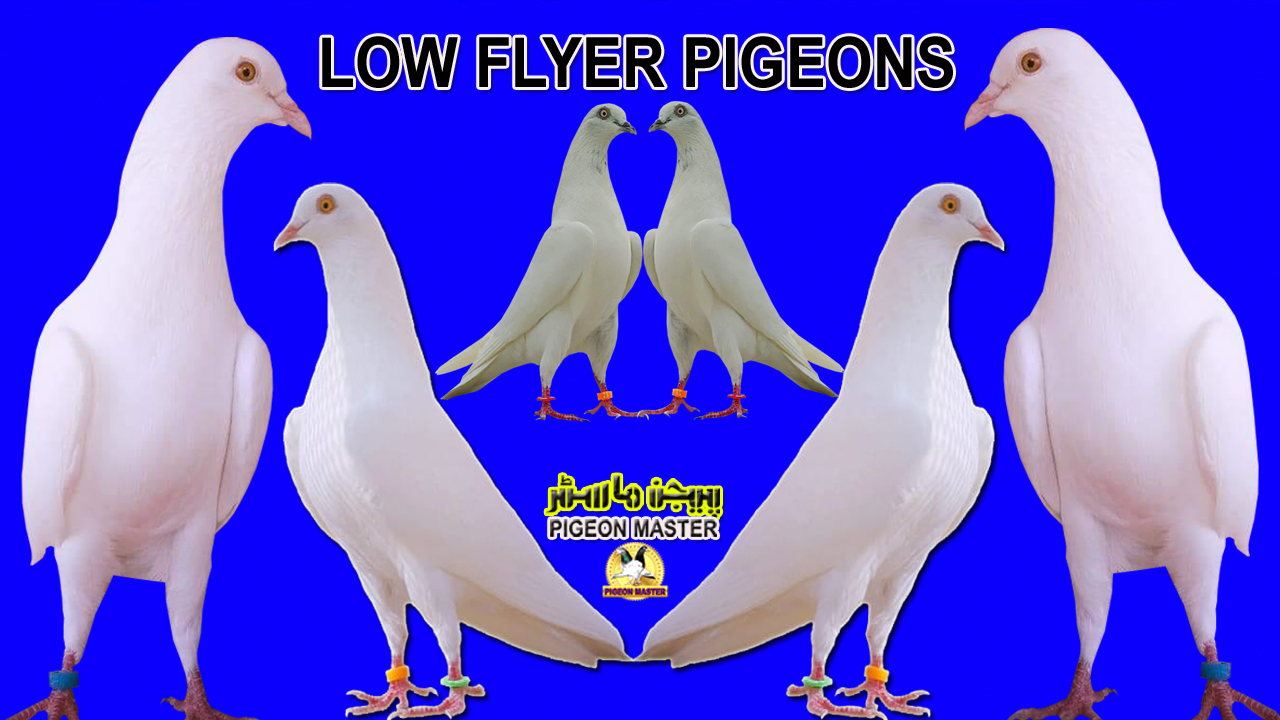 Pigeon History In Sub-Continet Low Flyer