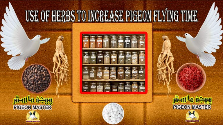 Use Of Herbs To Increase Pigeon Flying Time