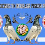 Famous Allopathic Medicines Use To Increase Pigeons Flying Time