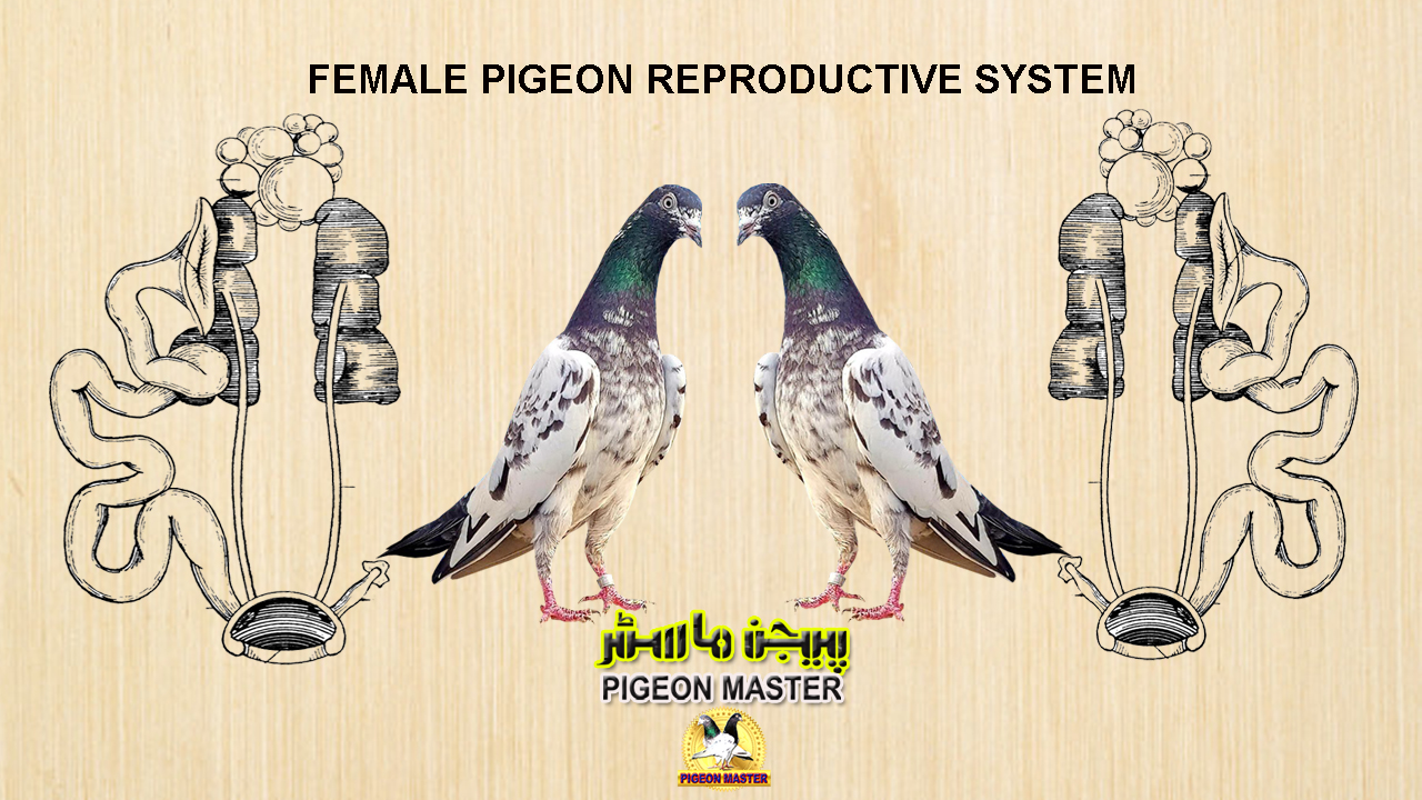 Female Pigeon Reproductive System