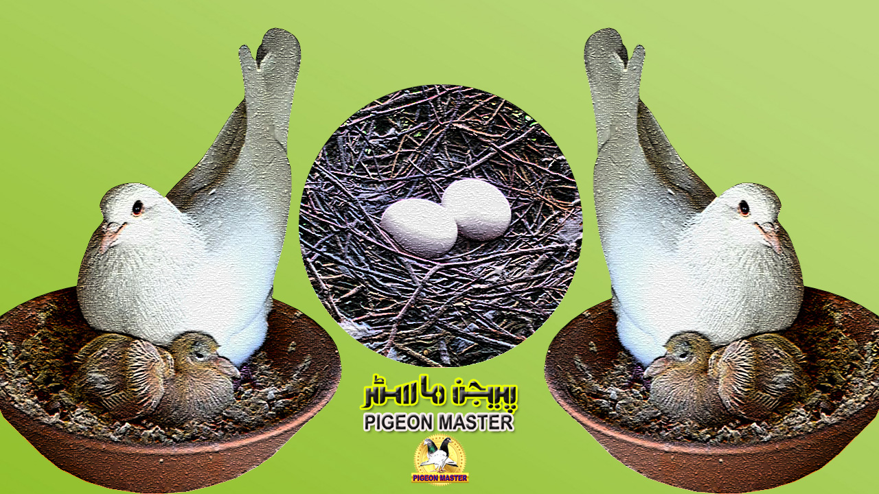 Nesting Egg Laying and Hatching