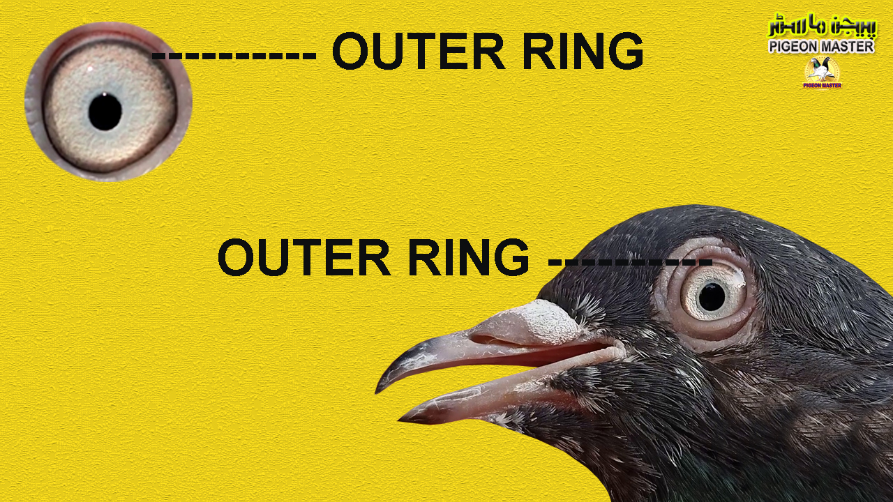 Pigeon Eye Outer Ring Health Ring