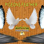 Pigeon Feather And Its Characteristics A brief Description