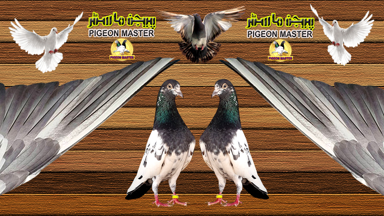 Pigeons Outer Flight Feathers