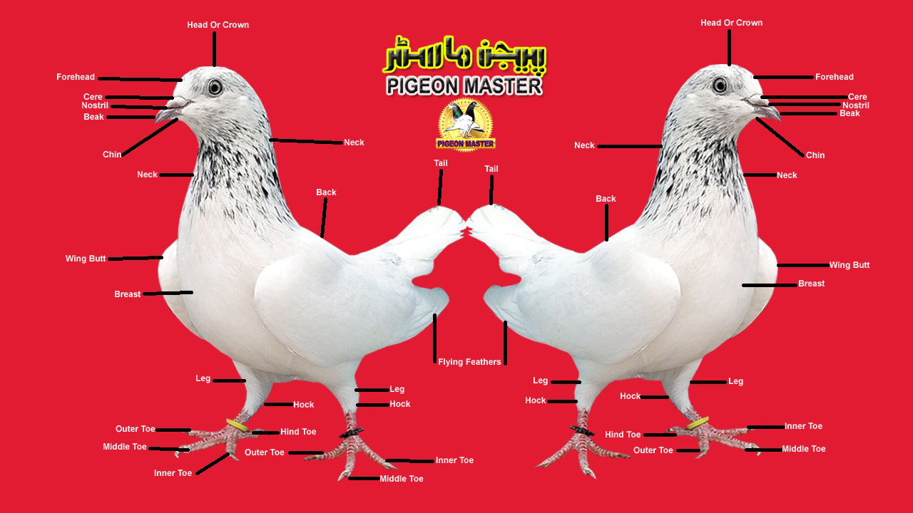 Pigeon's Outer Body Parts