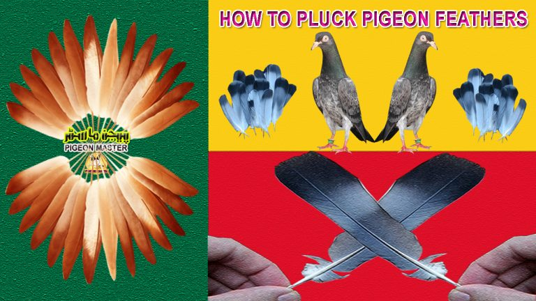 How To Pluck Pigeon Feathers