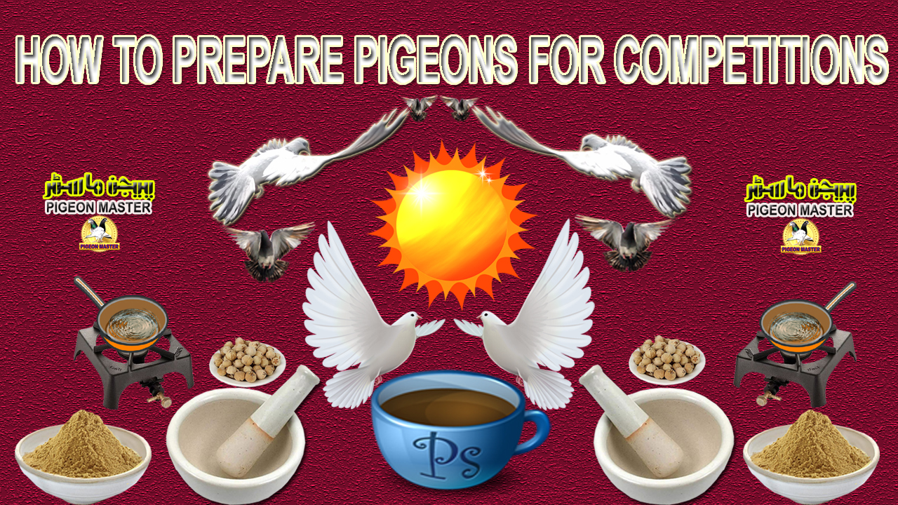 How To Prepare Pigeons For Competitions