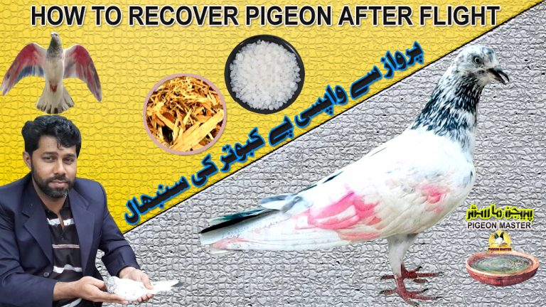 How To Recover Pigeons After Flight