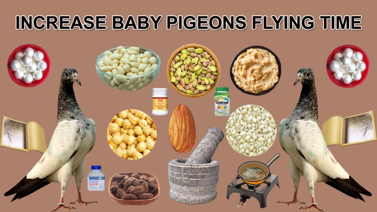 How To Increase Baby Pigeons Flying Time