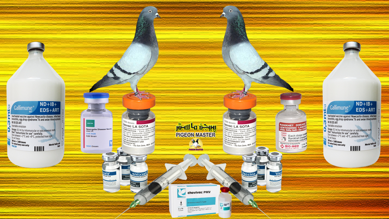Vaccination Of Pigeons