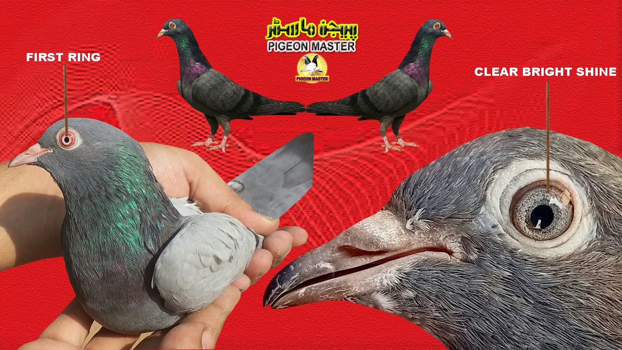 Clear Bright And Shining pigeon Eye Complete Information