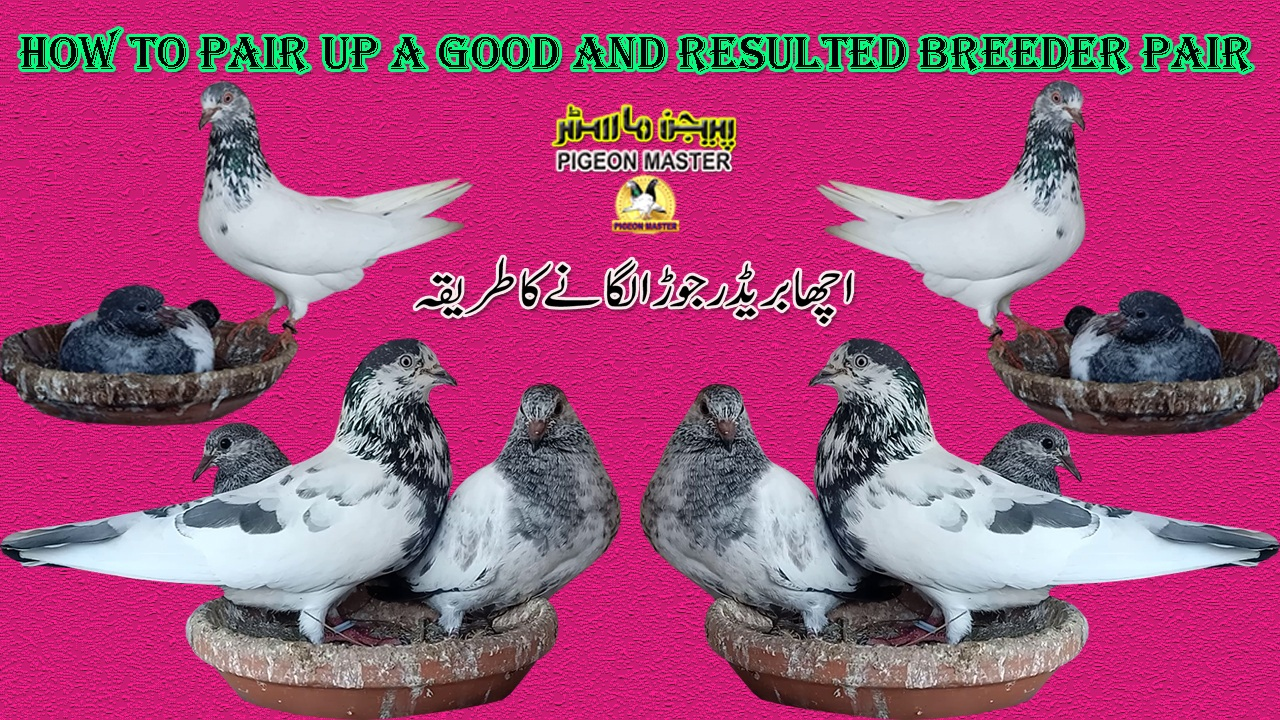 Pigeons Breeding Technique How To Pair Up a Good Resulted Breeder Pair
