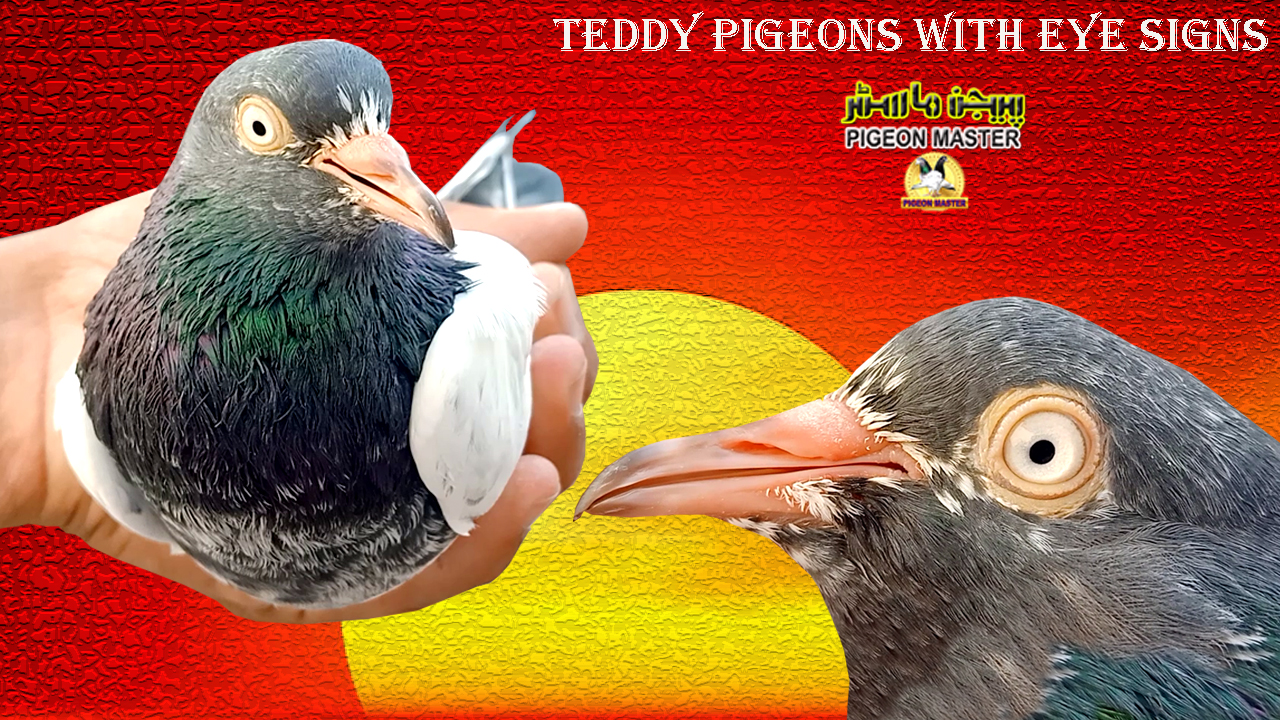 Teddy Pigeons With Eye Sign