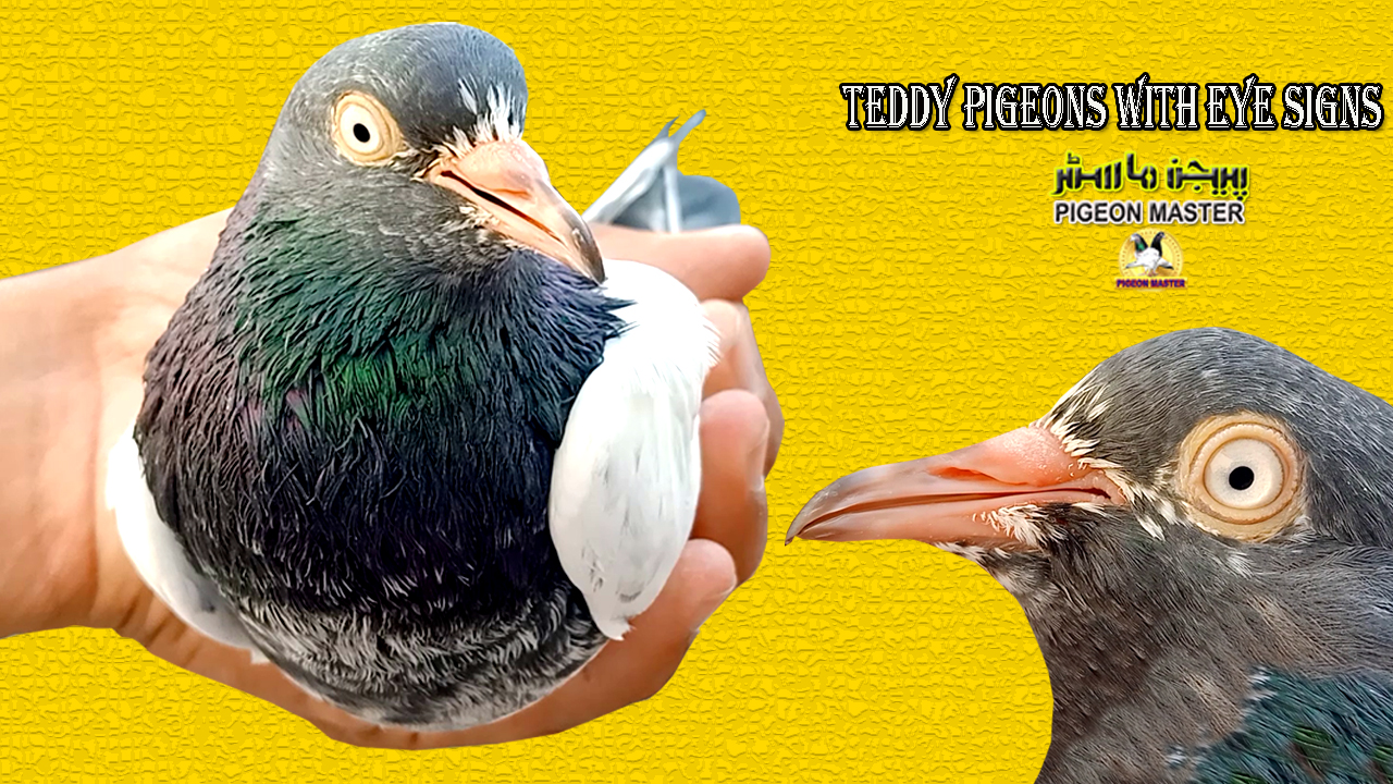 Teddy Pigeons With Eye Signs