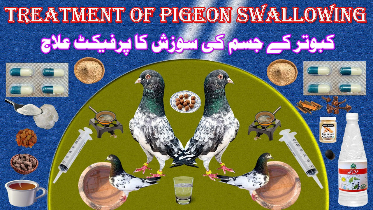 Treatment Of Pigeon Swallowing
